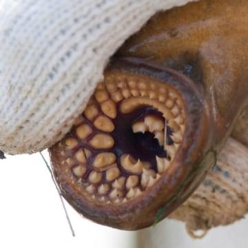 The sea lamprey has rows of teeth similar to a shark.