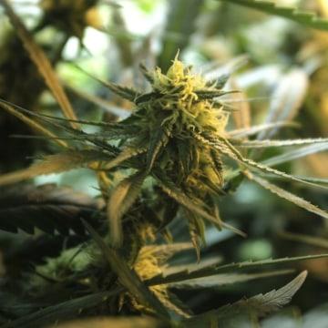 Image: Cannabis plant
