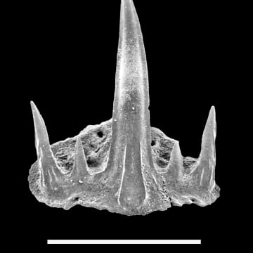 ne of the tiny little cladodontomorph shark teeth (scale bar indicates 0.5 mm) discovered in 135 million-years-old rocks, whereas this shark group was thought to have gone extinct 120 million years earlier.