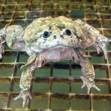 Telmatobius culeus, Lake Titicaca Water Frog