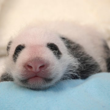 Image: The giant panda cub born at the Smithsonian's National Zoo on Aug. 23.
