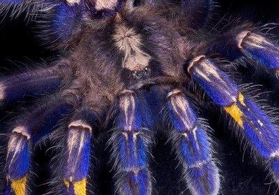 Tarantula's Strange Hair May Bring Better Clothing, Digital Screens