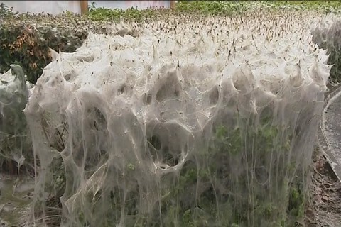 Caterpillars Spin a Web a Tenth of the Size of an American Football Field