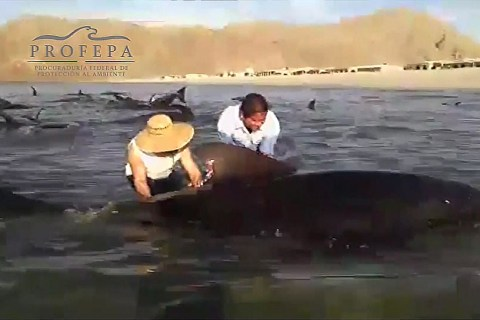 Pilot Whales Perish After Beaching in Mexico