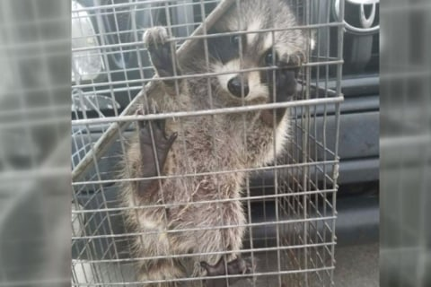 Caught On Camera: Raccoons Rattle Homeowner