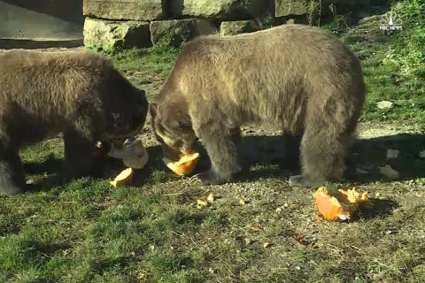 Grizzly Bears Predict World Series Winner