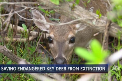 Inside the Fight to Save Florida's Key Deer From Extinction
