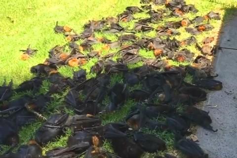 Heatwave Kills Off Thousands of Giant Bats in Australia
