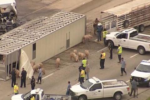 MayHAM on Texas Highway as Pigs Run Loose