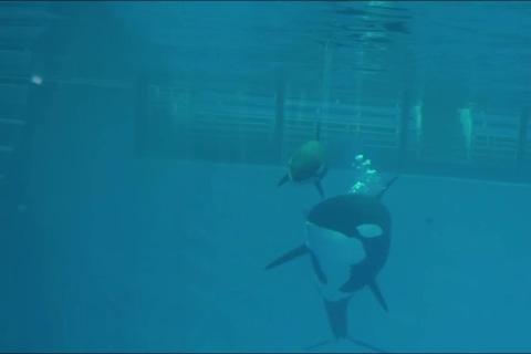 Last Killer Whale Born in Captivity at SeaWorld Has Died
