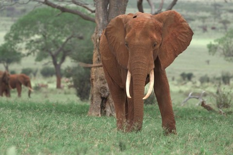 President Donald Trump upholds ban on elephant trophy imports