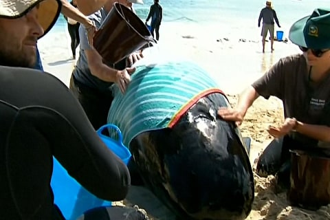 Rescuers in race against time to save 150 stranded whales