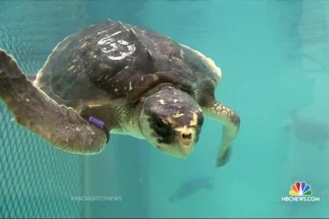 Mysterious Illness Sickening Sea Turtles