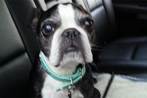 Boston Terrier's 15-Story Splashdown