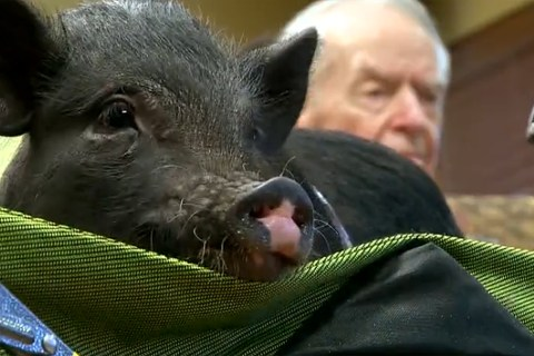 Therapy Pigs Visit Patients