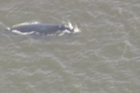Experts Work to Free Trapped Whales
