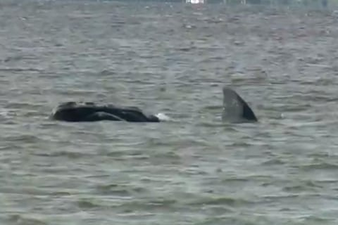 Rescuers Work to get Mom, Calf Whale Out to Sea