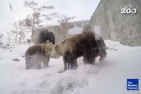 Bears Awake From Hibernation a Month Early