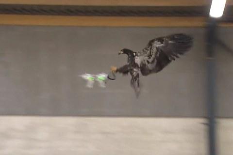 Dutch Police Train Eagle to Attack Drones