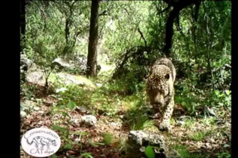 America's Only Known Wild Jaguar Spotted in Arizona