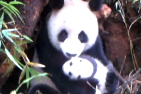 Rare Video of Giant Panda Cub in the Wild
