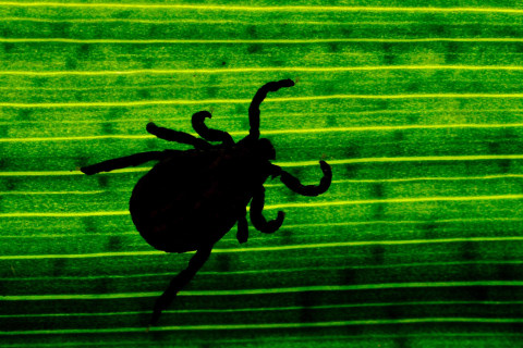 Borrelia Mayonii, New Lyme Disease Bacteria, Found in Midwest