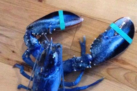 Rare, Blue Lobster Given New Home at Aquarium