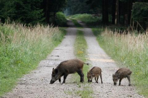 Chernobyl Disaster Leaves Radioactive Wild Boars Roaming Germany
