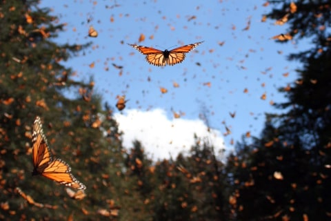 How One Gene Gives Monarch Butterflies the Power to Migrate