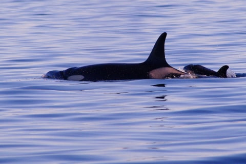 First Orca Calf Born to Endangered Pod Since 2012 Is Presumed Dead