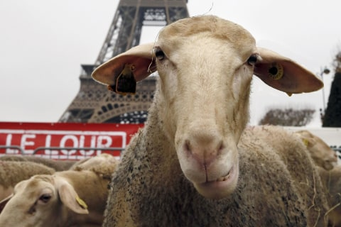 These Sheep Went to the Eiffel Tower to Protest Over Wolves