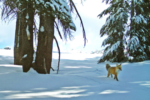Rare Red Fox Sighted For First Time in Nearly 100
