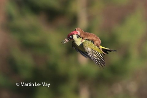 Weasel Hitches Ride on Woodpecker in Amazing Image