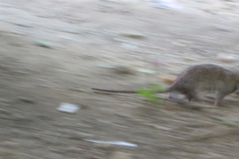 New York Is Abuzz About Rats, Fleas and Plague ... But Don't Panic