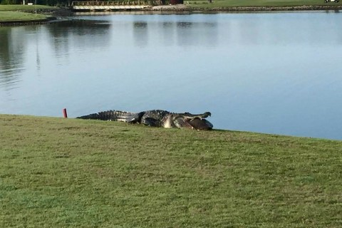 Giant Alligator Returns to Myakka Pines Golf Club ... With Breakfast