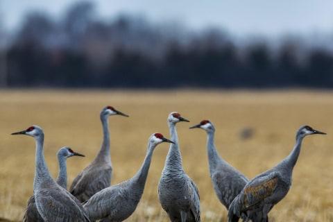 Arctic Bound: Migrating Sandhill Cranes Gather in Nebraska