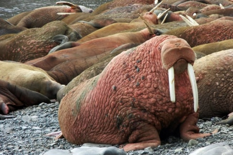 Alaska Island's Walrus Cam Joins a Menagerie of Wildlife Video Streams
