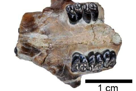 Fossil of Previously Unknown Beaver Species Unearthed in Oregon