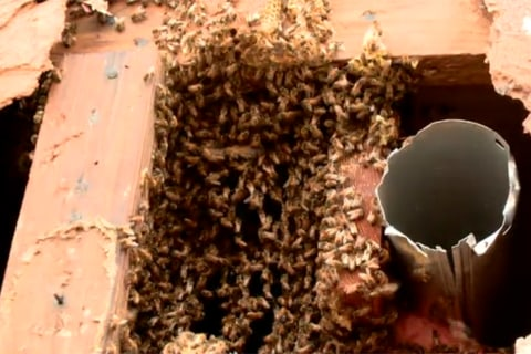 Swarm Welcome: Giant Bee Hive Found in Oklahoma Home