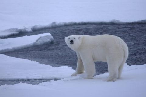Are Polar Bears Skating on Thin (Arctic) Ice?