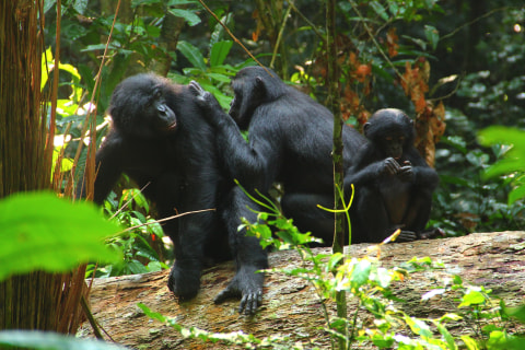 Going Ape: Bonobos Make Sounds Like That of Human Babies