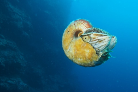 Biologist Spots Rare Slimy Nautilus for First Time in 30 Years