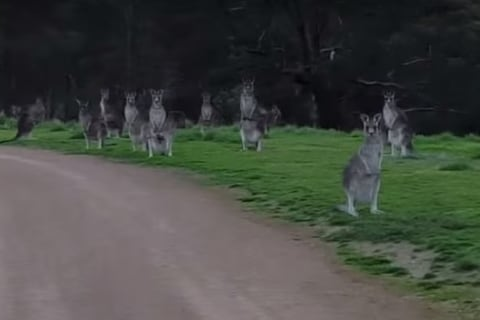 Zombielike Kangaroos That Stared Down Bicyclist Were Behaving Normally
