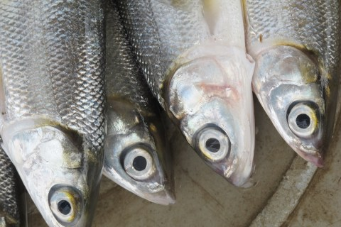 Eating fish 2-3 times a week is recommended: What about every day?