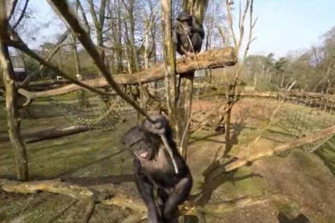 Chimp That Took Down Drone Showed 'Forward Planning': Researchers