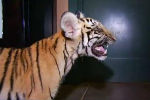Abandoned Tiger Cub Found Roaming Neighborhood
