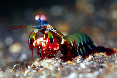 Mantis Shrimp Settle Fights With Flurries of Light Blows, Not Haymakers