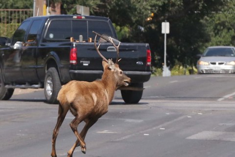 Oh, Deer! That's No Moose on the Loose ... It's a Bull Elk!