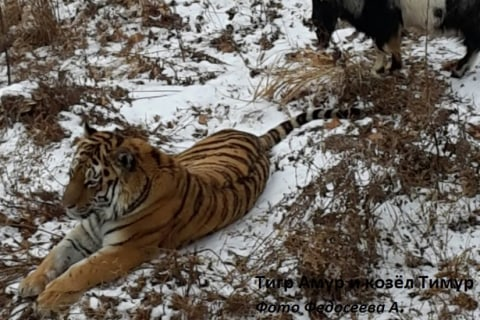 Goat Becomes Pals With Tiger Who Was Supposed to Eat It