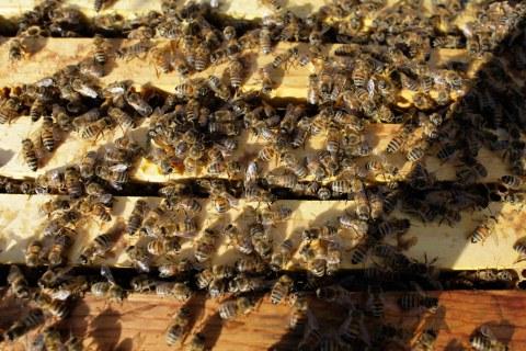 Bee Thieves a Buzz Killjoy for Almond Growers